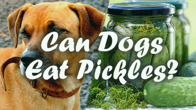 Can-dogs-eat-pickles-2