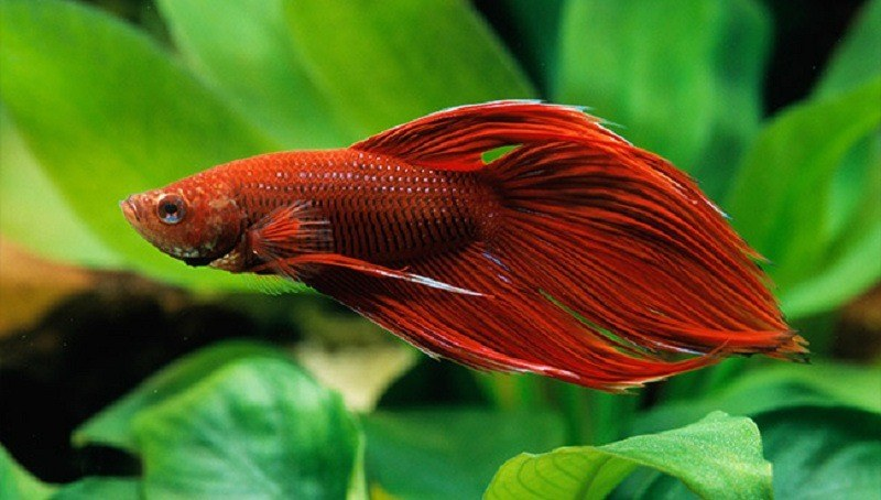 how long do betta fish live everything you need to know