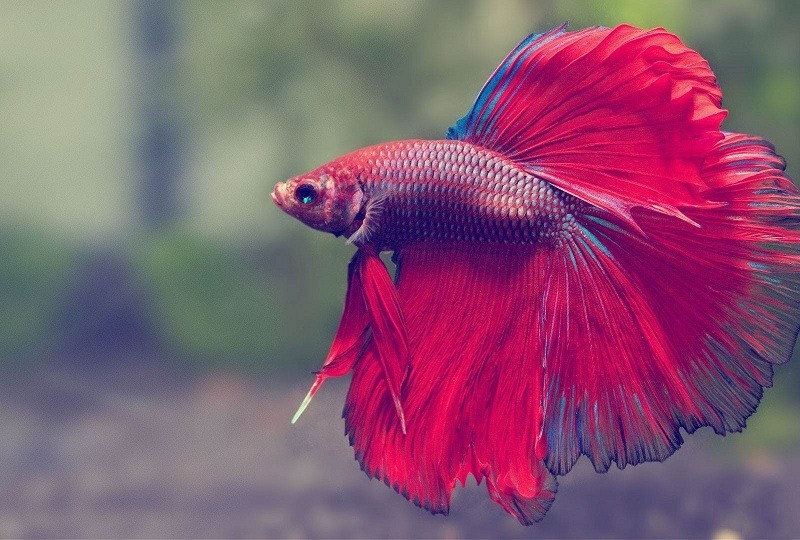 How long do betta fish live everything you need to know for Where do fish live