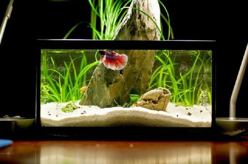 How long do betta fish live everything you need to know for Betta fish tank size