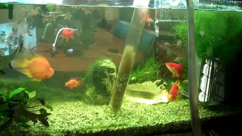 How long do betta fish live everything you need to know for Can you use distilled water for betta fish