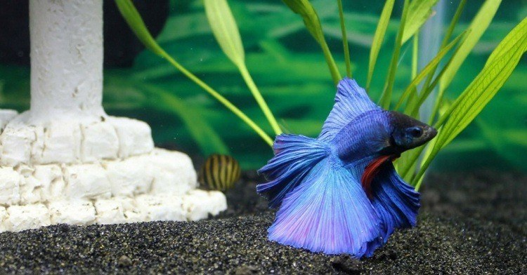 How Long Do Betta Fish Live