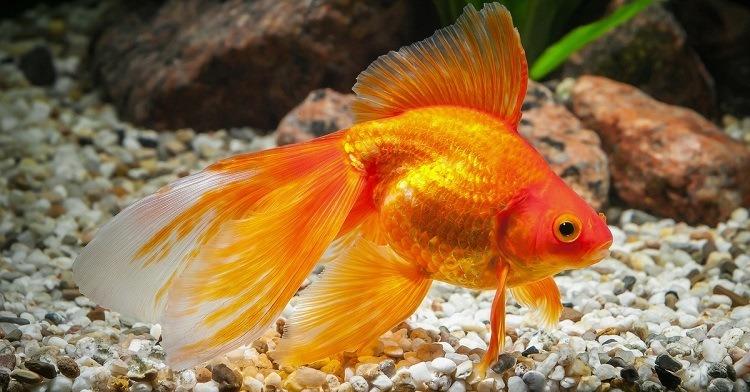 pregnant goldfish
