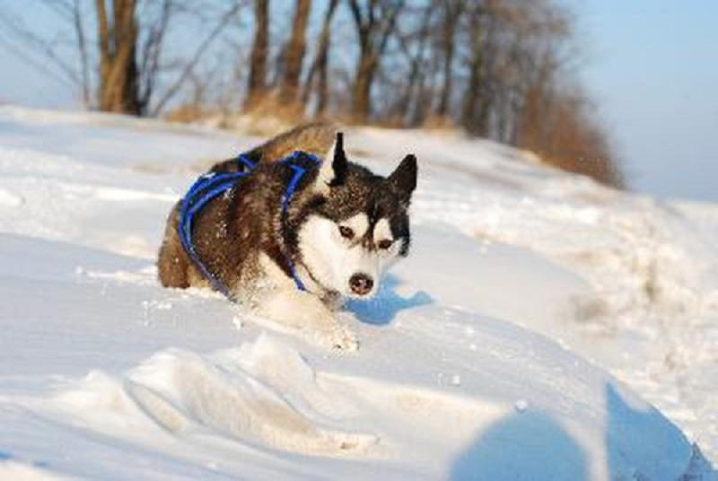 best-harness-for-husky-7
