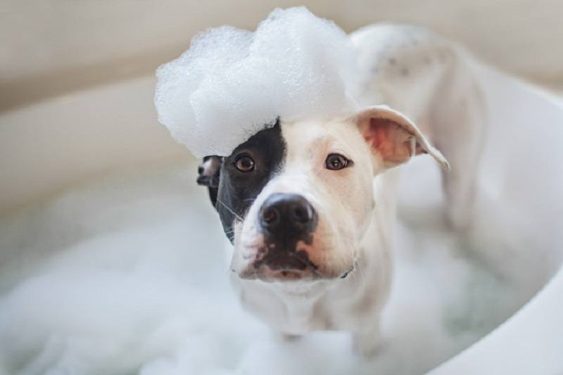 best-shampoo-for-pitbulls-and-bulldogs-3