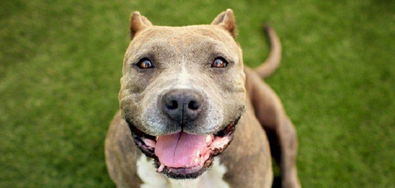 best-shampoo-for-pitbulls-and-bulldogs-5