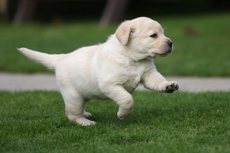 best-dog-food-for-lab-puppies-9