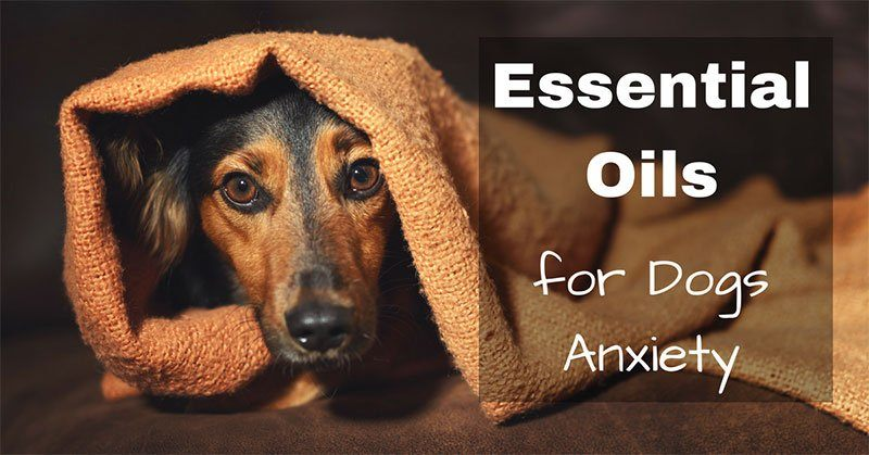 essential oils for dogs anxiety