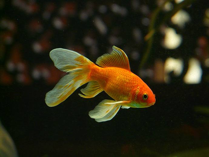 best goldfish growth food