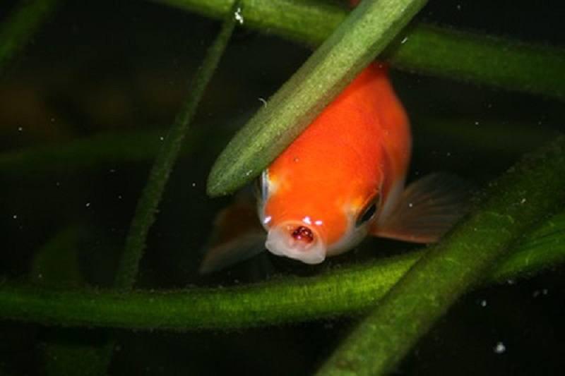 Do goldfish eat algae