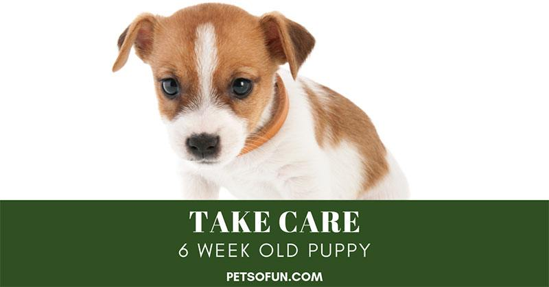 take care 6 week old puppy