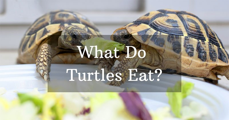 what do turtles eat